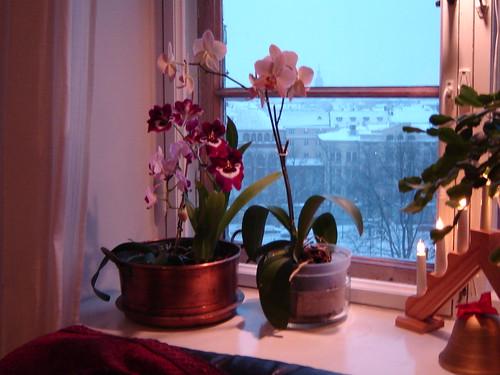 orkideat joulu 2005