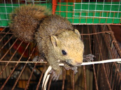 animal, squirrel, fox squirrel, rat, rodent, fauna, whiskers,