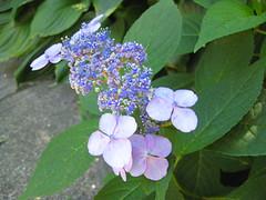 annual plant(1.0), shrub(1.0), flower(1.0), hydrangea serrata(1.0), plant(1.0), lilac(1.0),
