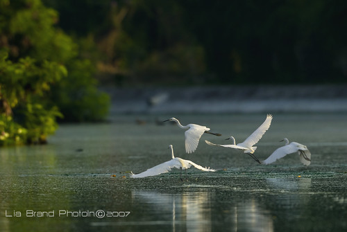 morning sees squadrons of ♫ little egrets soaring on white wings... ♫ lay-od-lay-od-lay-he-hoo ♫