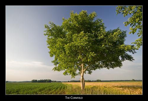 tree landscape cornfield badradkersburg