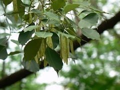 East Indian Rosewood Fabaceae Pea Or Legume Family Da Flickr