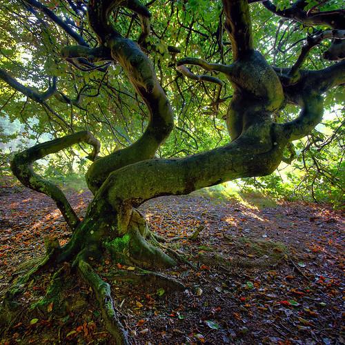 panorama tree skåne sweden twisted hdr beech waytowork wtw ptgui photomatix nikond200 impressionsexpressions nikd thexpo11