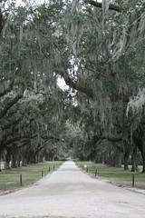 Oak-Lined Promenade