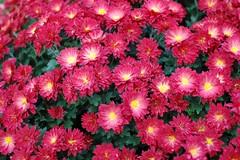 chrysanths(0.0), dorotheanthus bellidiformis(1.0), annual plant(1.0), flower(1.0), plant(1.0), flora(1.0), pink(1.0), petal(1.0),