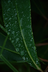 Raindrops on a leaf (again)