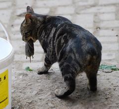 Veterinary Technician Cat Breed Id Flashcards Quizlet