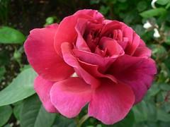 annual plant(1.0), garden roses(1.0), rosa 㗠centifolia(1.0), floribunda(1.0), flower(1.0), rosa gallica(1.0), plant(1.0), rosa chinensis(1.0), pink(1.0), petal(1.0),