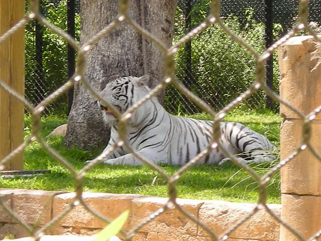 Tigre Alvino