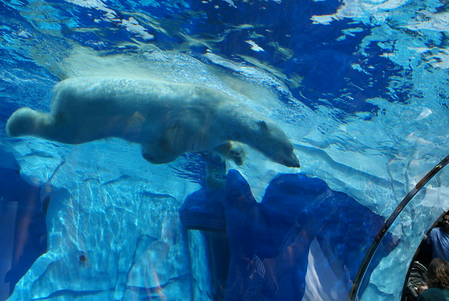 Swimming polar bear   Flickr - Photo Sharing!