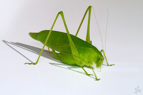 Oblong-winged katydid / Scuddérie à ailes oblongue