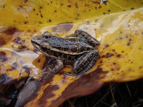 Image of a frog from Little Seneca Creek.