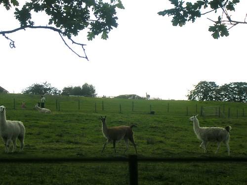 Blimey! Llamas!