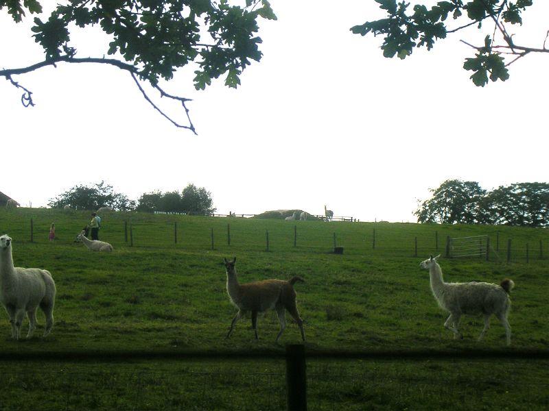Blimey! Llamas! Ashdown Forest Forest Row Circular