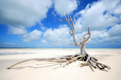 the lone tree at harbour Island/eleuthera