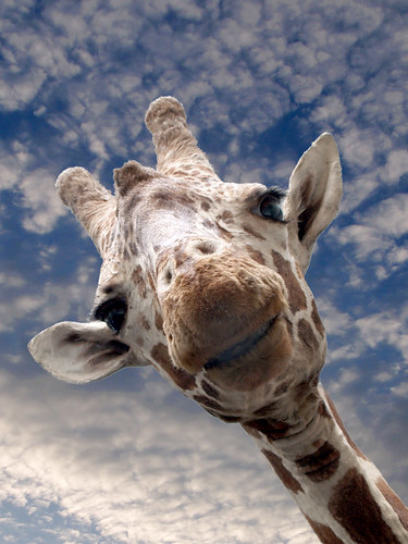 Charity Print Sale - 15/52 - Giraffe