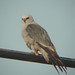 Mississippi Kite - Photo (c) Jerry Oldenettel, some rights reserved (CC BY-NC-SA)