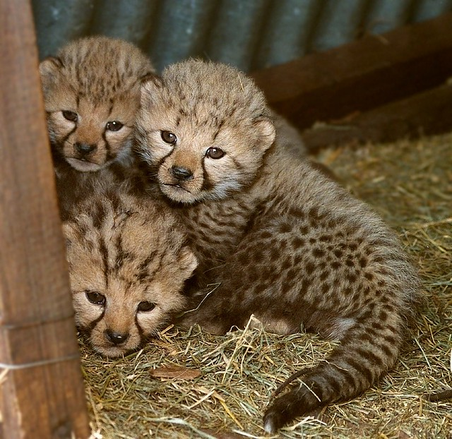 King Cheetah vs Cheetah Cheetah Cubs Including King