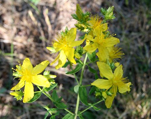 Common St. Johnswort, Hypericum perforatum