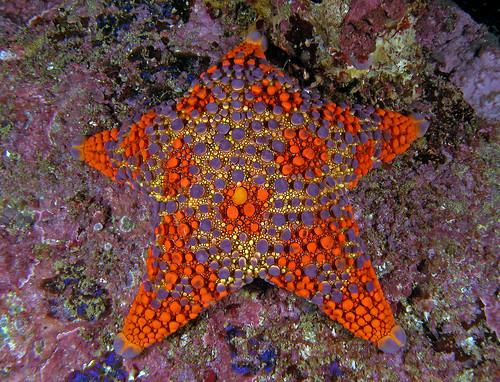Asterodiscides truncatus (Firebrick Seastar)3, Batemans Marine Park