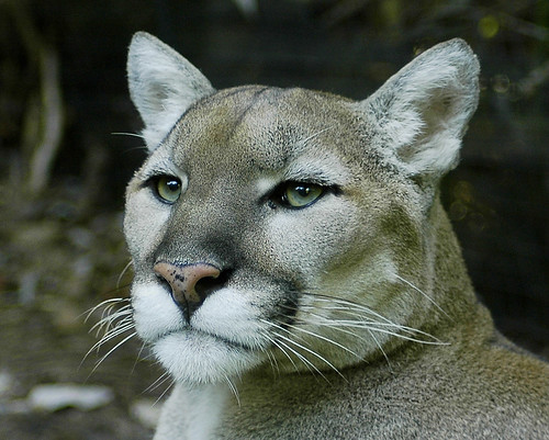 portuguese cove cougar women Abalone cove shoreline park: a+: a+: c: portuguese bend cove: a+:  cougar convention stops in orange county woman dies after jumping or falling out of moving .