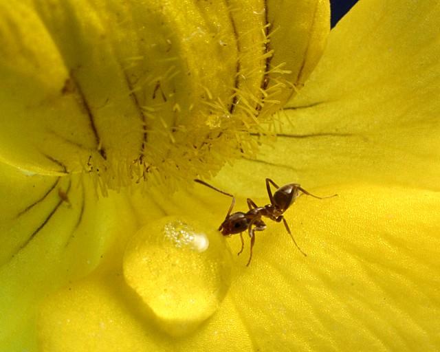 Red Ant - Macro | Fl