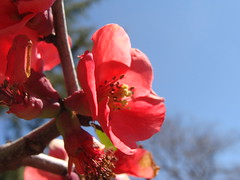 Quince flowers (from flowering quinces)