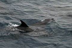 animal, marine mammal, whale, ocean, common bottlenose dolphin, marine biology, dolphin, spinner dolphin,