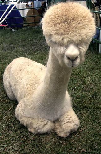 Fluffy Headed Alpaca