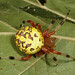 Marbled Orb Weaver - Photo (c) cotinis, some rights reserved (CC BY-NC-SA)
