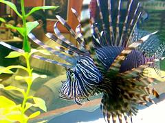 fish, marine biology, fauna, freshwater aquarium, lionfish, scorpionfish, aquarium,
