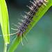 Amazon Catapiller - Poisoneous