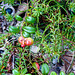 Small photo of Lingonberries and Crowberry