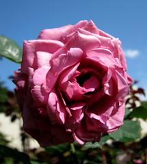 Rose Garden, Raleigh NC 6768