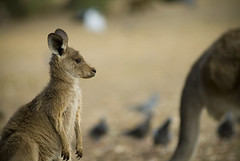 meerkat(0.0), wallaby(1.0), animal(1.0), marsupial(1.0), mammal(1.0), kangaroo(1.0), fauna(1.0), wildlife(1.0),