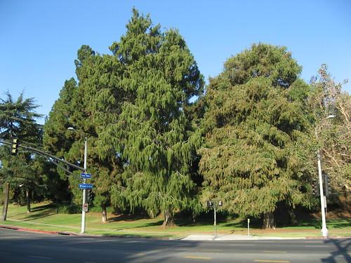 Cedar Tree Varieties Pictures ~ Cedar trees types