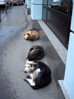 Stray Moscow dogs in the city centre