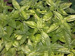 pennyroyal(0.0), vegetable(0.0), flower(0.0), produce(0.0), annual plant(1.0), shrub(1.0), leaf(1.0), plant(1.0), herb(1.0), basil(1.0),