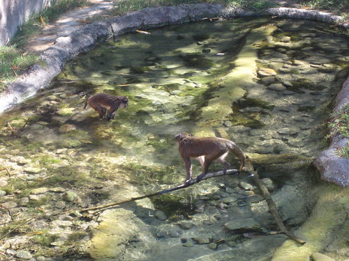 Monkeys playing in water