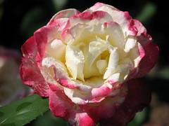 Rose Garden, Raleigh NC 6763