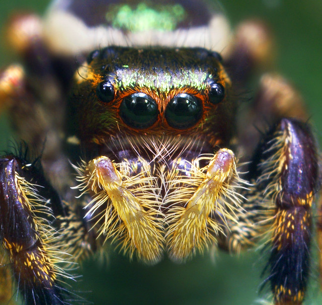 Colorful jumping spider - photo#23