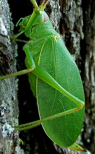 katydid wing
