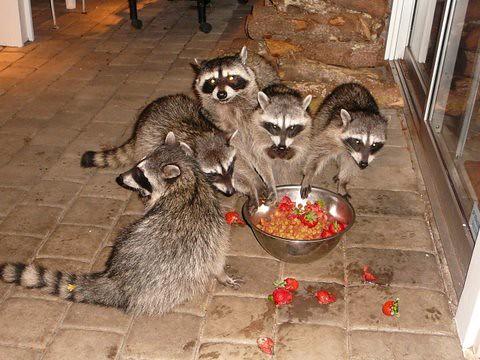 Raccoon Family Explored Flickr Photo Sharing