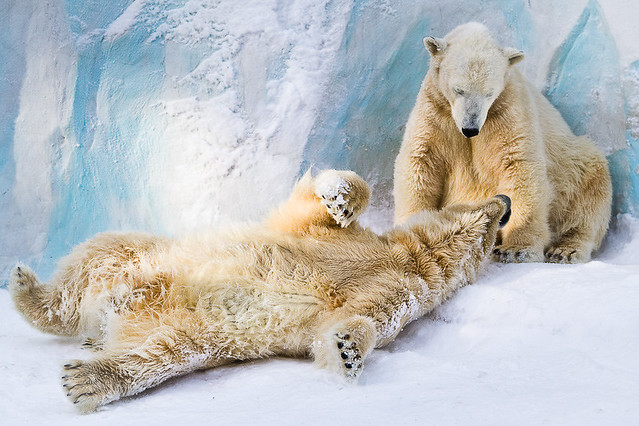 Polar bears couple (Novosibirsk Zoo)