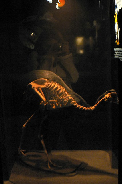 Cassowary skeleton - photo#19