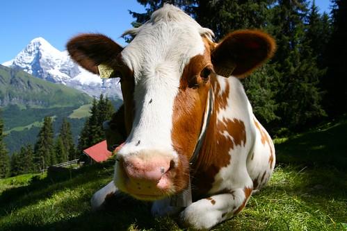 My Cow Postcard Shot:  Berner Oberlander Kuh