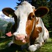 My Cow Postcard Shot:  Berner Oberlander Kuh by Wilson Freeman