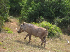 mare(0.0), grazing(0.0), animal(1.0), mammal(1.0), fauna(1.0), warthog(1.0), wildlife(1.0),