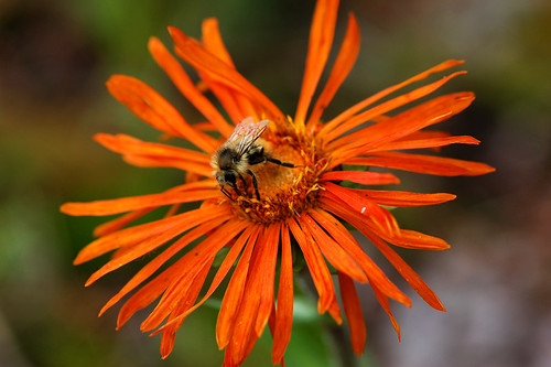 orange newmexico flower macro bee daisy wildflower