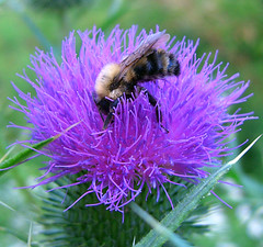 nectar(0.0), pollinator(1.0), animal(1.0), honey bee(1.0), pollen(1.0), flower(1.0), thistle(1.0), invertebrate(1.0), macro photography(1.0), membrane-winged insect(1.0), wildflower(1.0), flora(1.0), fauna(1.0), close-up(1.0), bee(1.0), bumblebee(1.0),
